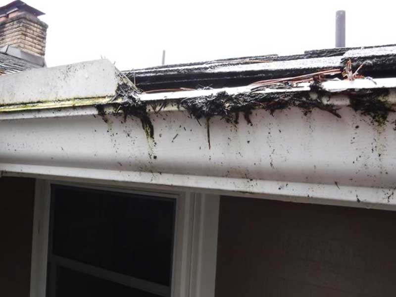 The gutters are so full of needles and the Leaf Filter is so clogged with algae that the rain water is cascading over the sides of the gutters instead of going into the gutters.